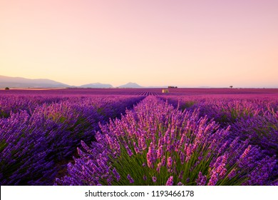 Beautiful lavender fields at sunrise Provence France focus on foreground