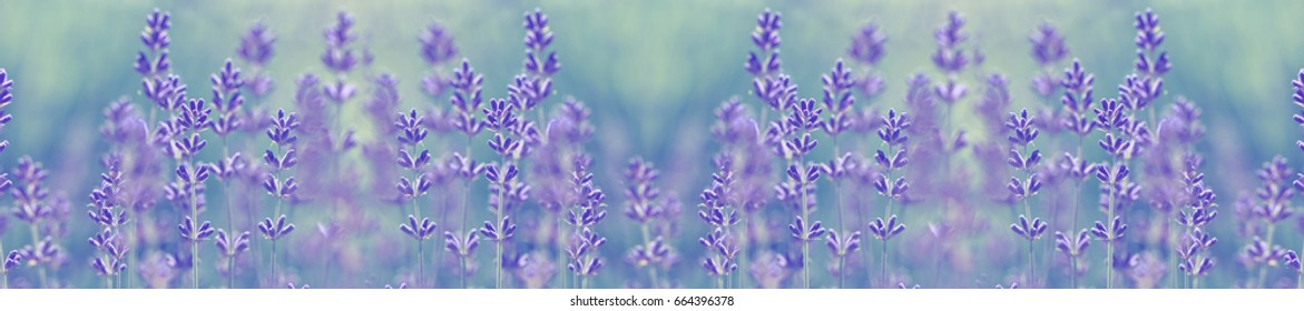 Beautiful lavender flower in summer, selective and soft focus on lavender flower.