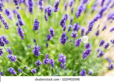 Beautiful lavender flowers close-up