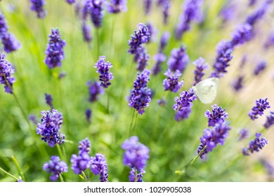 Beautiful lavender flowers close-up. Summer nature meadow and flowers