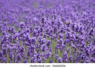 Beautiful lavender flowers in a farm