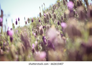 Beautiful Lavender Flowers Sunny Outdoors Background