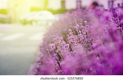 Beautiful lavender garden with fresh and colorful lavender and with a luxury house in the background vivid color - sunny day lens flare