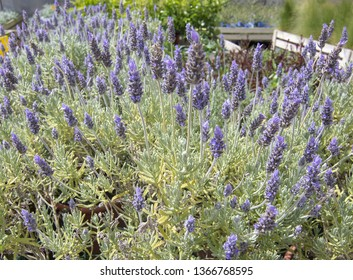 Beautiful lavender herbs with purple flowers, Lavendula officinalis, in pots full frame. Spring garden series, Mallorca, Spain.