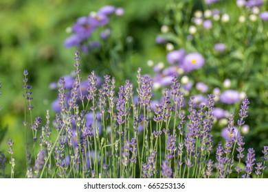 Beautiful lavender plant field