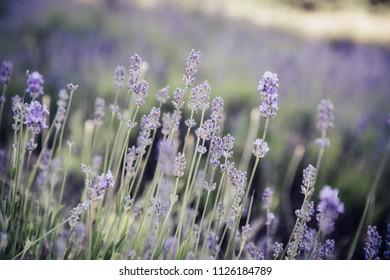 Beautiful lavender in summer