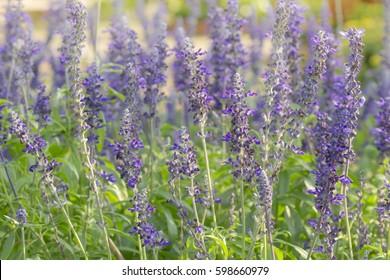 Beautiful lavendin in the garden