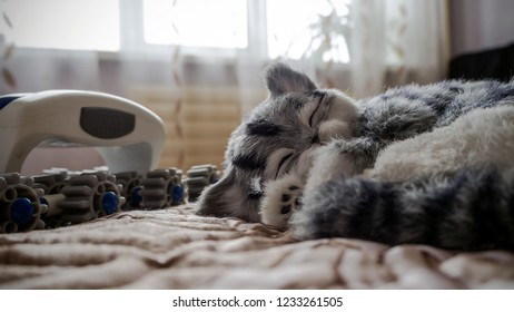 Beautiful Lazy Gray Striped purebred cat slipping  by the window, sunny day in bedroom on sofa. Mix Shorthair kitten Relaxing on Indigo brown Blanket. Copy space. White plastic massager with wheels.