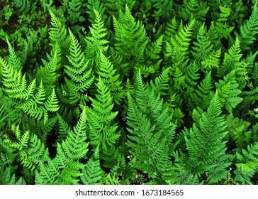 beautiful leaf of Dryopteris plant,  Variety leaf of green Wood ferns, Dryopteris in the nepali jungle.