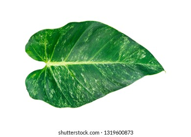 Beautiful leaf isolated on white background. Fantasy variegated leaf in green and white color.