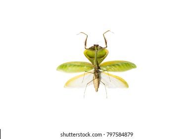 A beautiful leaf mantis (Choeradodis strumaria) isolated on white background