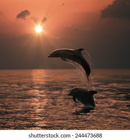 Beautiful Leaping Dolphin bumping from sunset sea