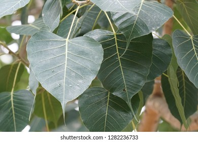 Beautiful leaves of Bodhi tree., Bo tree under which the Buddha attained enlightenment