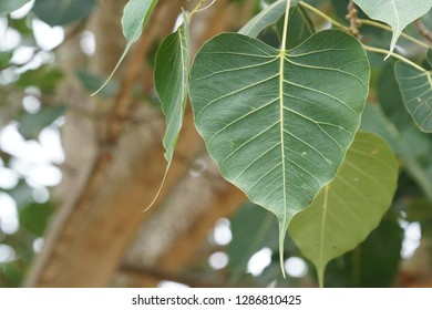 Beautiful leaves of Bodhi tree, Bo tree under which the Buddha attained enlightenment