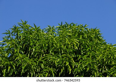beautiful leaves in the clear sky under sunlight. Nature background or wallpaper