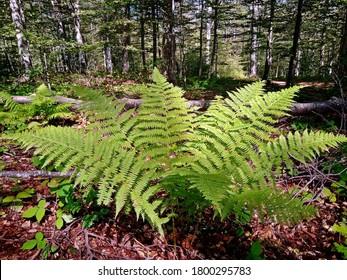 Beautiful leaves of forest fern (Dryopteris filix-mas)