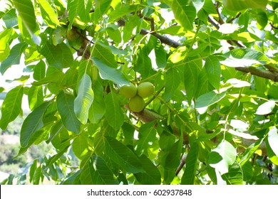 Beautiful leaves and fruits of ripe walnut in green peel