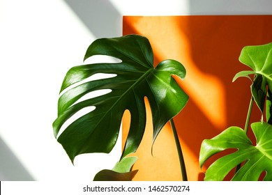 Beautiful leaves of Monstera against the background of orange and white wall. Monstera in a modern interior. Flowers in the interior. Minimalism concept. Background for the site