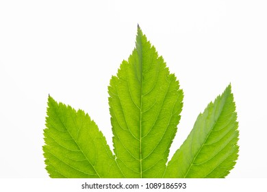 Beautiful leaves on white background