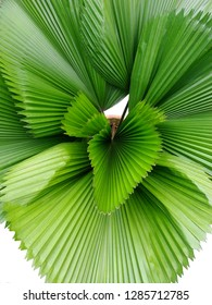Beautiful leaves of Ruffled fan palm in the garden. Green leaf pattern in palm tree isolated on white background.