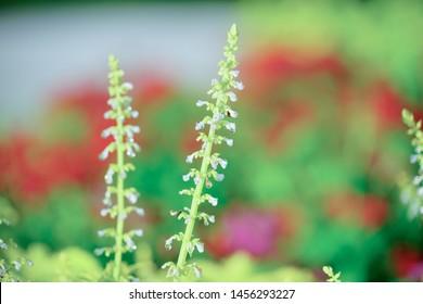 Beautiful leaves with white flowers of Coleus (Solenostemon scutellarioides). Plectranthus, known as coleus, .