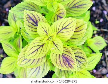 Beautiful leaves and white flowers of Coleus (Solenostemon scutellarioides). Plectranthus, known as coleus, .