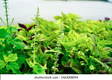 Beautiful leaves with white flowers of Coleus (Solenostemon scutellarioides). Plectranthus, known as coleus