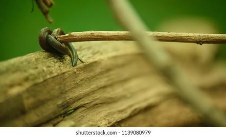 beautiful leech (Bloodsucker) from tropical forest