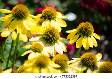 "A beautiful ""Lemon Yellow"" echinacea Sombrero flower in a spring season at a botanical garden."