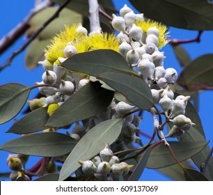 Beautiful lemon yellow flowered  Australian Eucalyptus woodwardii - Lemon Flowered Gum tree species with silvery white buds and cascading branches is an excellent street tree.