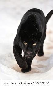 Beautiful leopard on snow