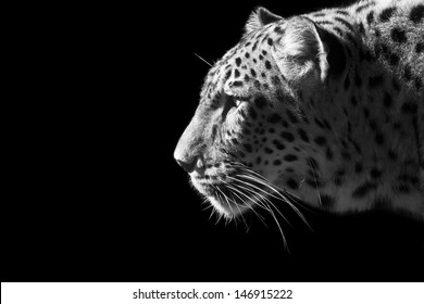 Beautiful leopard portrait in black and white