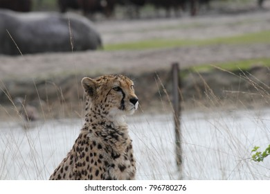 a beautiful leopard is sitting outside in the fields in the zoo in beekse bergen Holland