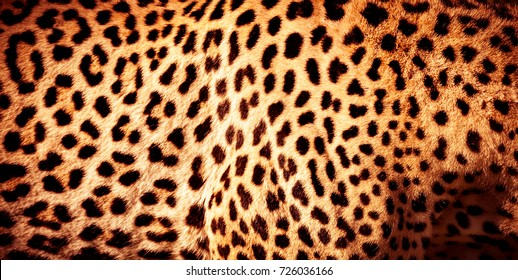 Beautiful leopard skin background, natural orange fur with black spots, wild African animal skin pattern
