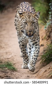 Beautiful leopard with spotted fur walking in South Africa