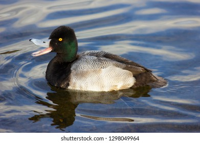 Beautiful lesser scaup male duck happily quacking away in the Burnaby Lake, British Columbia, Canada. Cute bird with stunning feathers and crazy yellow eyes.