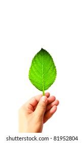 Beautiful light green leaf on hand