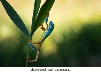 Beautiful light green and yellow frog on green reed stem. Very special and beautiful creature.