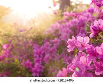 Beautiful light on pink azalea flower in a garden