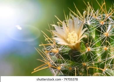 Beautiful light orange flowers of cactus
