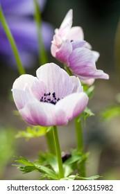 beautiful light pink blossoms in sunshine
