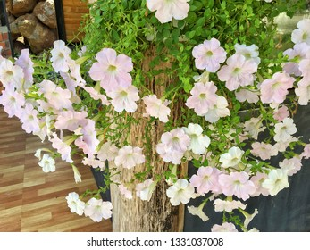 Beautiful light pink Common Garden Petunia flower in Trailing petunias group (Petunia x hybrida) arranged line on wooden pole in cascade use as ornamental flowering plant for decorating home garden