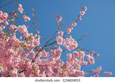 beautiful light pink flowering cherry branches at springtime