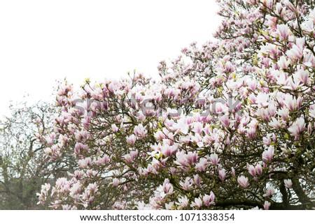 Beautiful Light Pink Magnolia Tree Blooming Stock Photo Edit Now