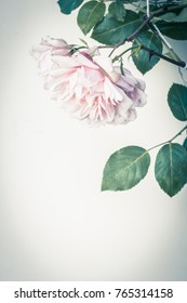 Beautiful, light pink rose in full bloom with green leaves on light gray, instagram style artistic background