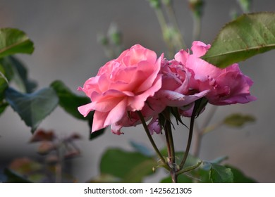 Beautiful light pink roses and green leafs