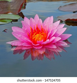 A beautiful light pink waterlily or lotus flower.