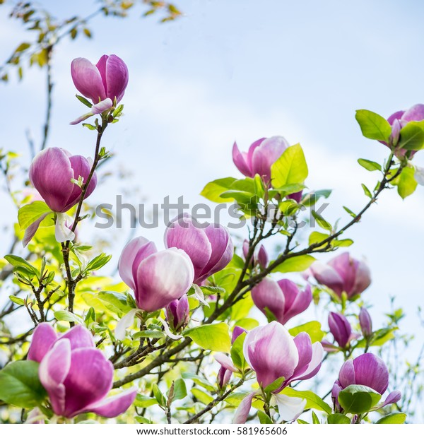 Beautiful Light Pink/Purple Magnolia Tree with Blooming Flowers during Springtime in English Garden, UK