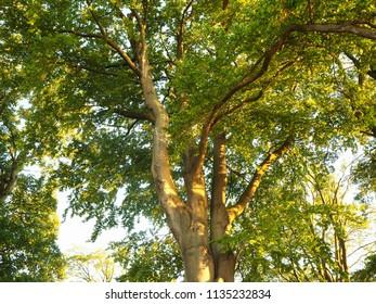Beautiful light shining on a beech tree