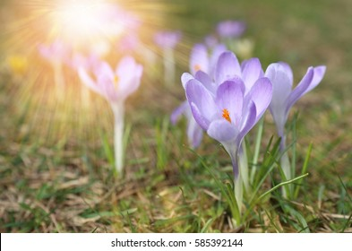 Beautiful light violet crocuses flower growing on the dry grass, the first sign of spring. Seasonal easter sunny natural background.